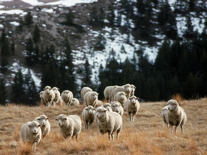 1-sheep