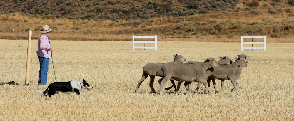 sheep-dog-trials-herd-em-out-credit-carol-waller-2012